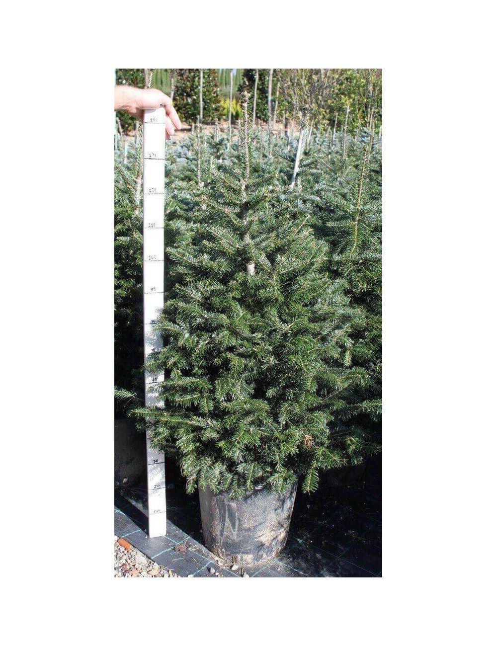Abete nordmanniana vaso 40 cm vendita piante on line for Vendita piante mirtillo on line