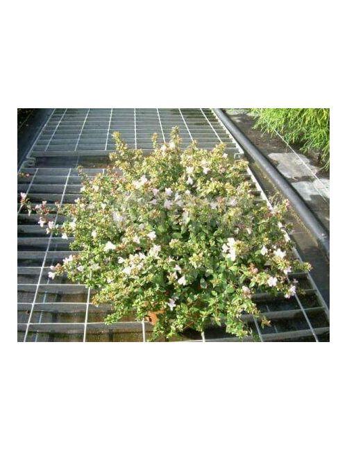 Abelia - fiore color Lavanda