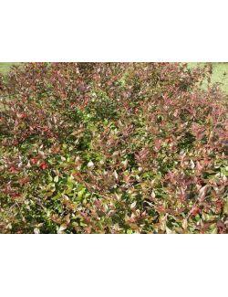 Abelia Grandiflora Sherwood