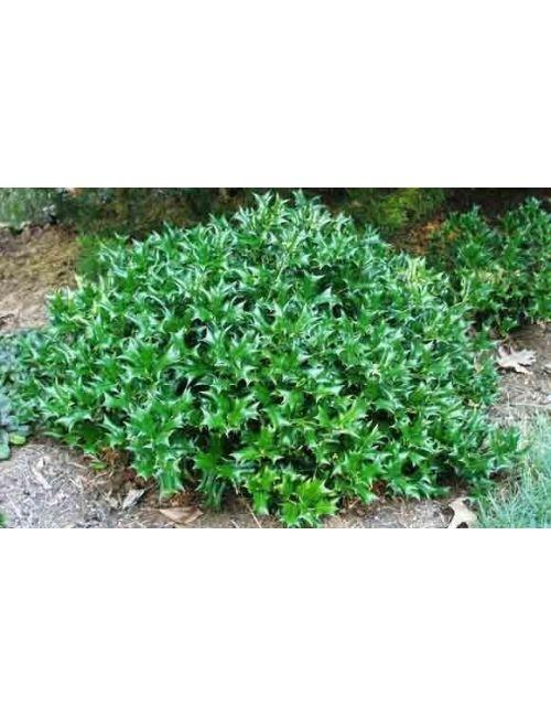 Agrifoglio verde ilex cornuta for Cipresso nano