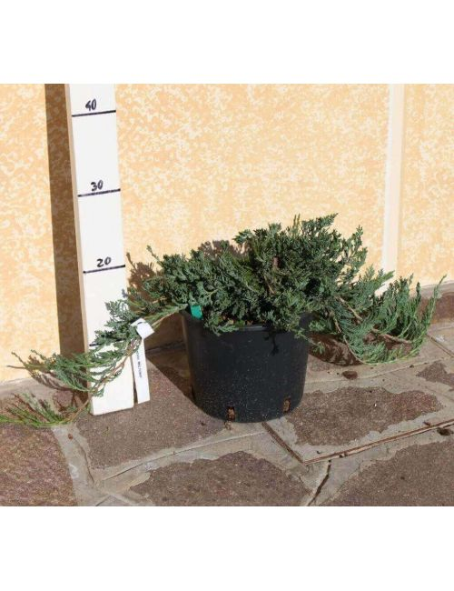 "Ginepro ""Horizontalis Wiltonii"" (Juniperus Horizontalis Wiltonii)"