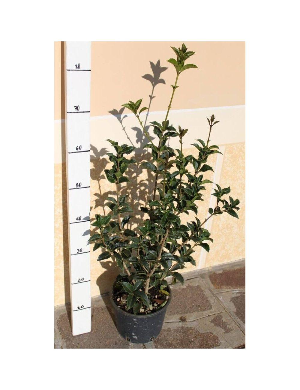 Osmanthus aquifolium vendita piante on line for Vendita piante mirtillo on line