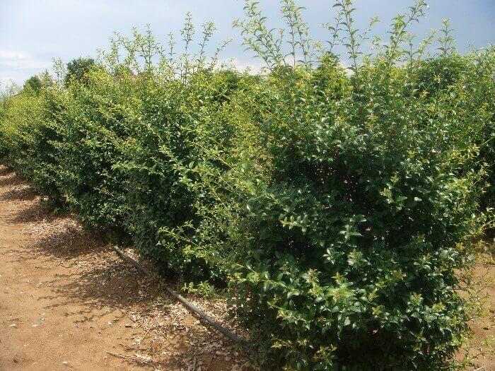 Osmarea burkwoodii vendita on line - Osmanthus siepe ...