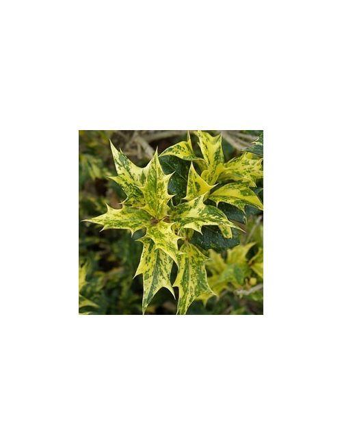 Osmanto heterophyllus Tricolor