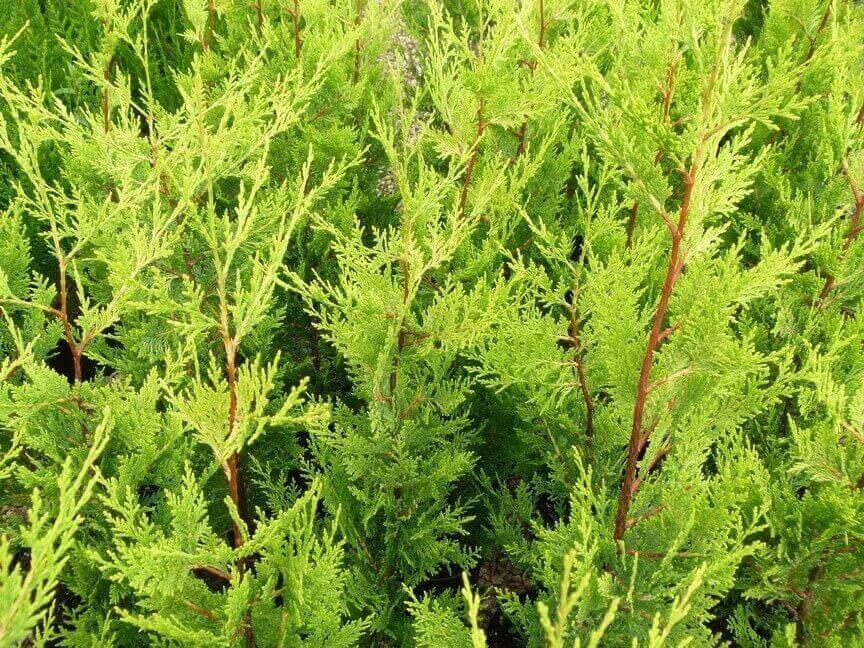 Cipresso cupressocyparis leylandii gold vendita piante for Cipresso nano