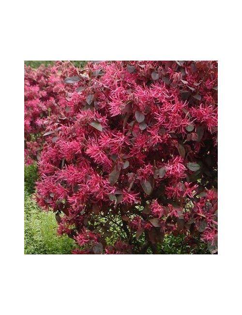 Loropetalum Chinense rubrum Fiore Rosso