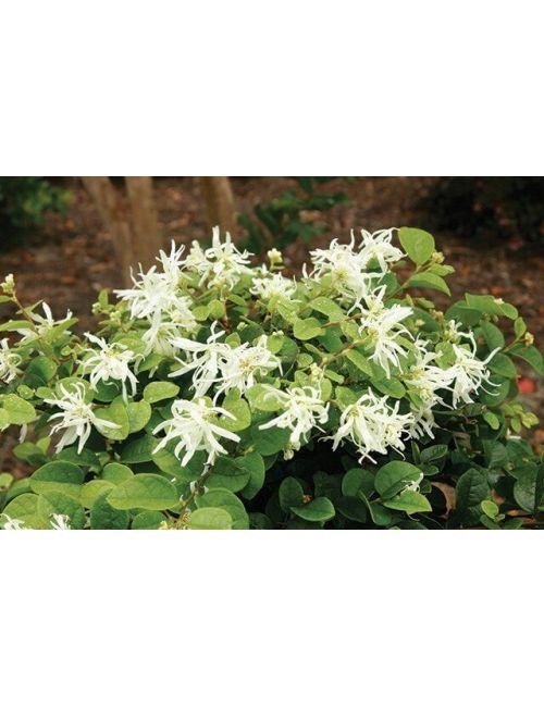 Loropetalum Chinense Fiore Bianco
