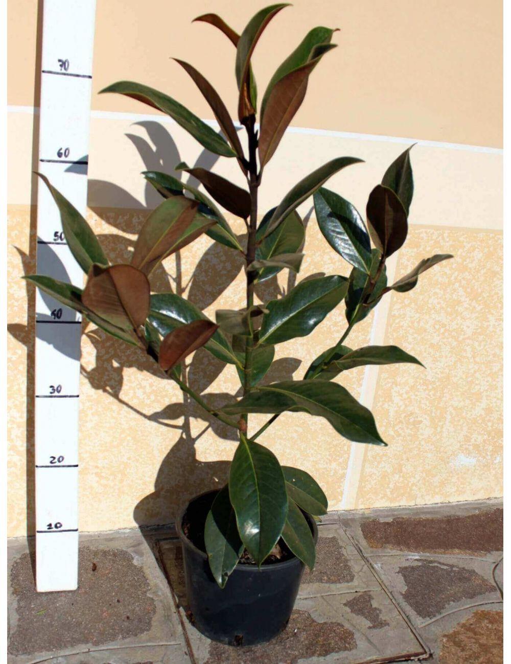 Magnolia grandiflora gallisoniensis vendita piante on for Vendita piante mirtillo on line