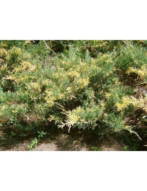 "Ginepro ""Chinensis Blue & Gold"" (Juniperus Chinensis Blue & Gold)"