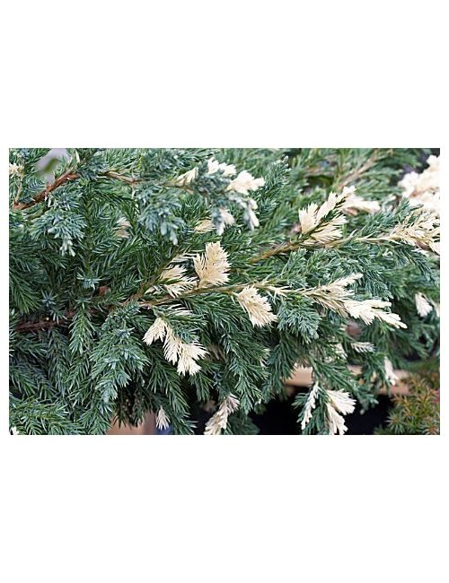 "Ginepro ""Chinensis Expansa Variegata"" (Juniperus Chinensis Expansa Variegata)"
