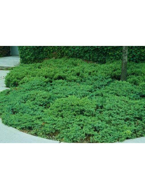 "Ginepro ""Chinensis San Josè"" (Juniperus Chinensis San Josè)"