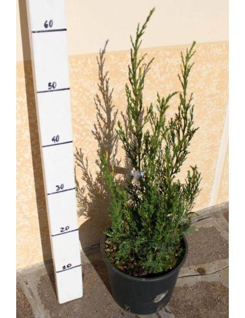 "Ginepro ""Chinensis Stricta Variegata"" (Juniperus Chinensis Stricta Variegata)"