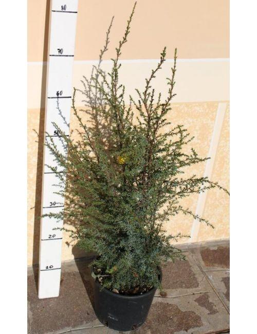 "Ginepro ""Communis Hibernica"" (Juniperus Communis Hibernica)"