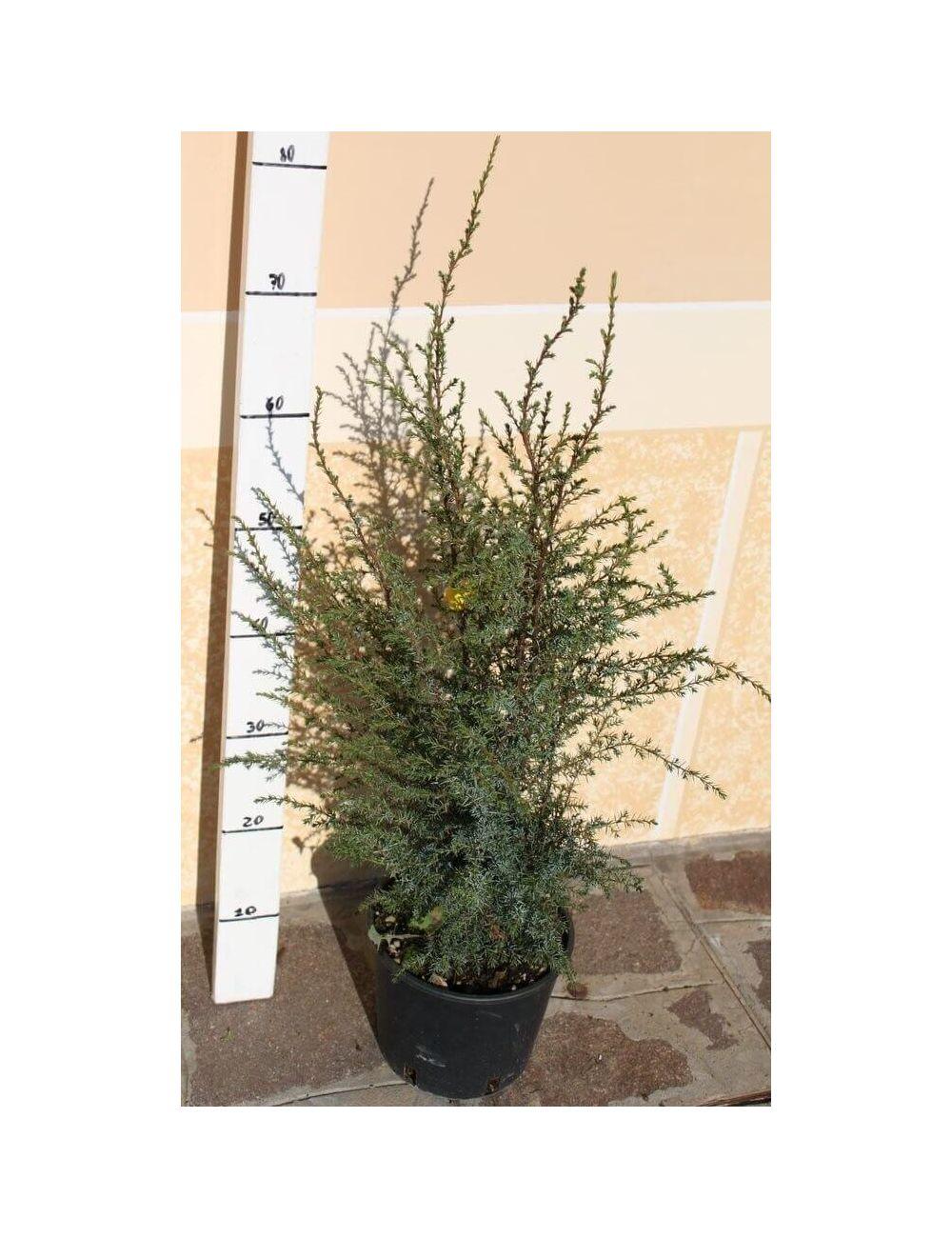 Ginepro communis hibernica vendita piante on line for Vendita piante mirtillo on line