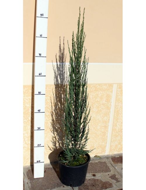 "Ginepro ""Scopulorum Blue Arrow"" (Juniperus Scopulorum Blue Arrow)"