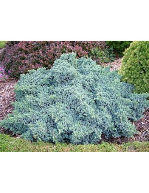 """Ginepro """"Squamata Blue Star"""" (Juniperus Squamata Blue Star)"""