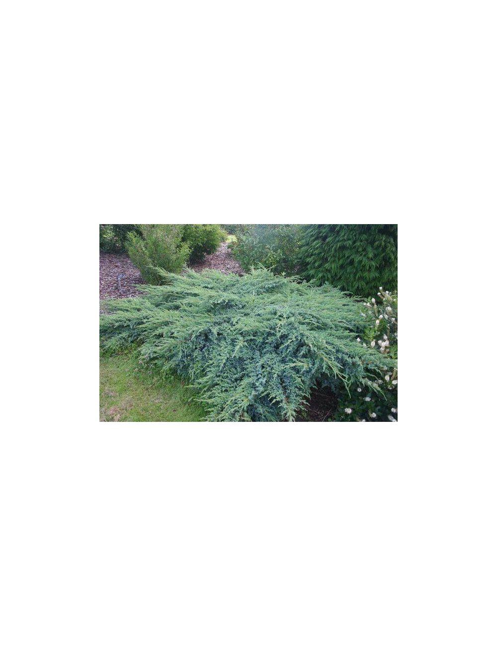 Pianta Artemisia Vaso 18cm
