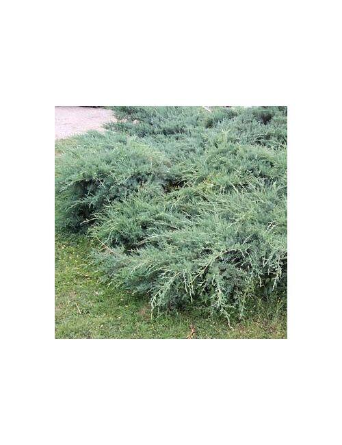 """Ginepro """"Pfitzeriana Glauca"""" (Juniperus Pfitzeriana Glauca)"""