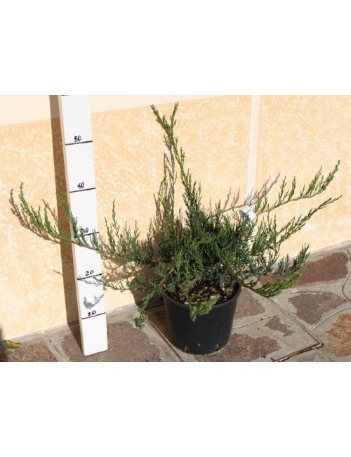 "Ginepro ""Sabina Rockery Mixed"" (Juniperus Sabina Rockery Mixed)"
