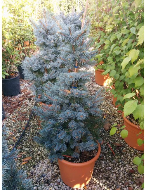 Abete azzurro (Picea Pungens Glauca Koster)