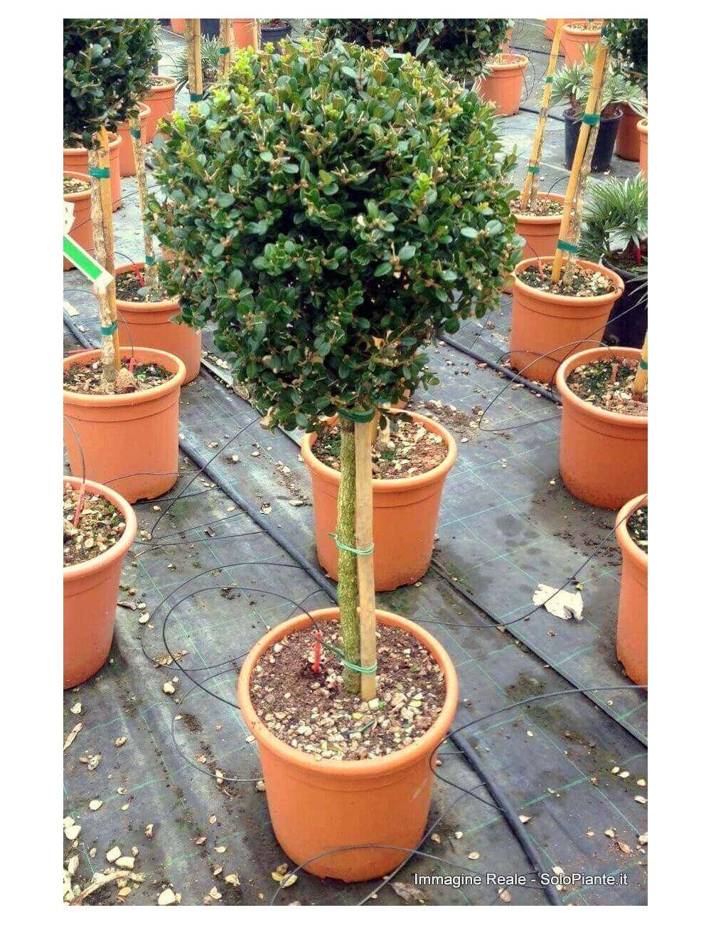 Bosso faulkner buxus faulkner vendita piante on line for Bosso in vaso
