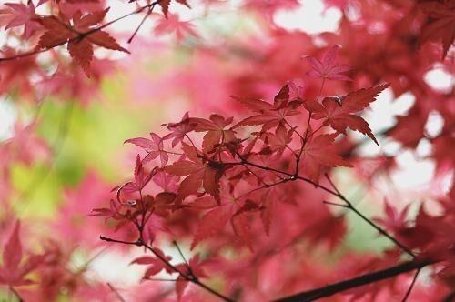 Acero giapponese corallinum vendita piante on line for Acero giapponese nano