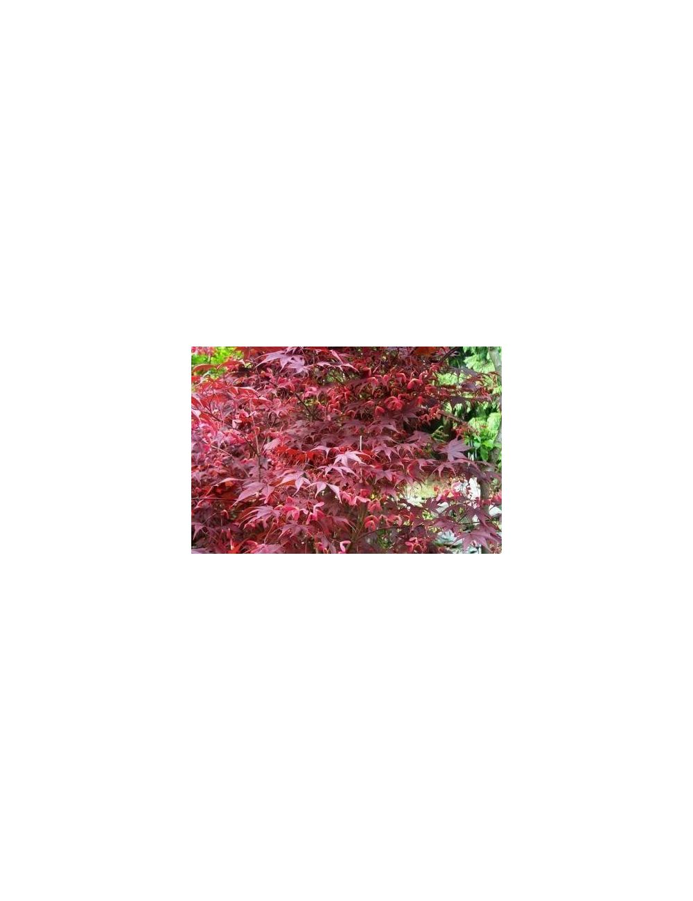 Acero giapponese fg1 vendita piante on line for Acero giapponese nano