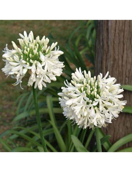 Agapanthus Umbellatus 'Albus' (fiore bianco)