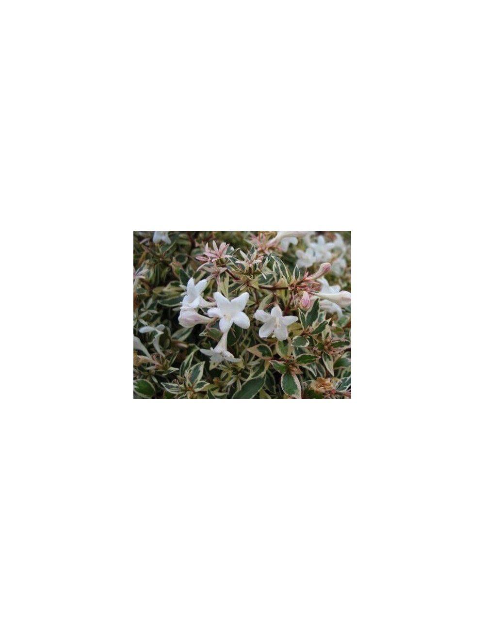 Abelia variegata vaso 16 cm