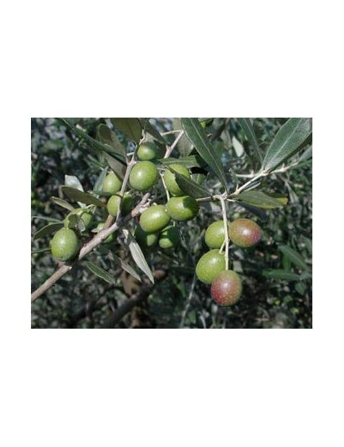 Olivo (Olea Europaea)