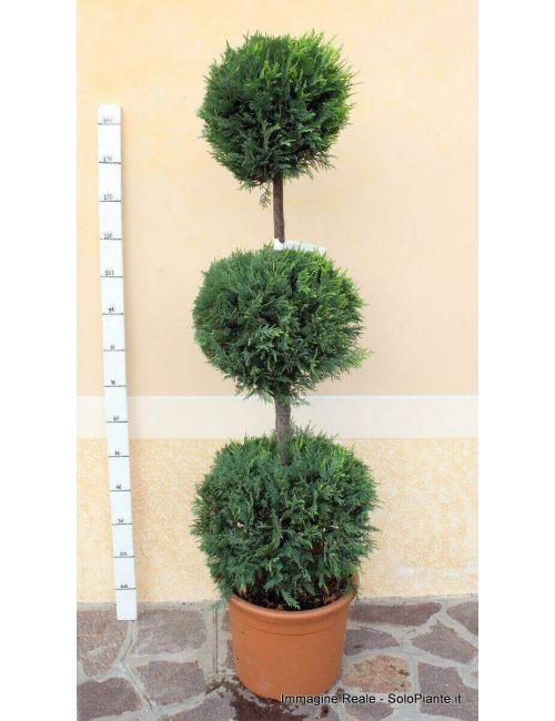 """Arte Topiaria """"3 Sfere"""" - Cipresso Leylandii """"giallo dorato"""" (Castlewellangold)"""