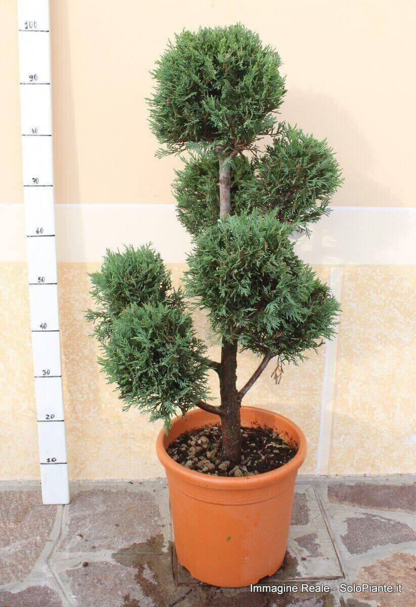 Arte topiaria pom poms vendita piante online for Cipresso nano