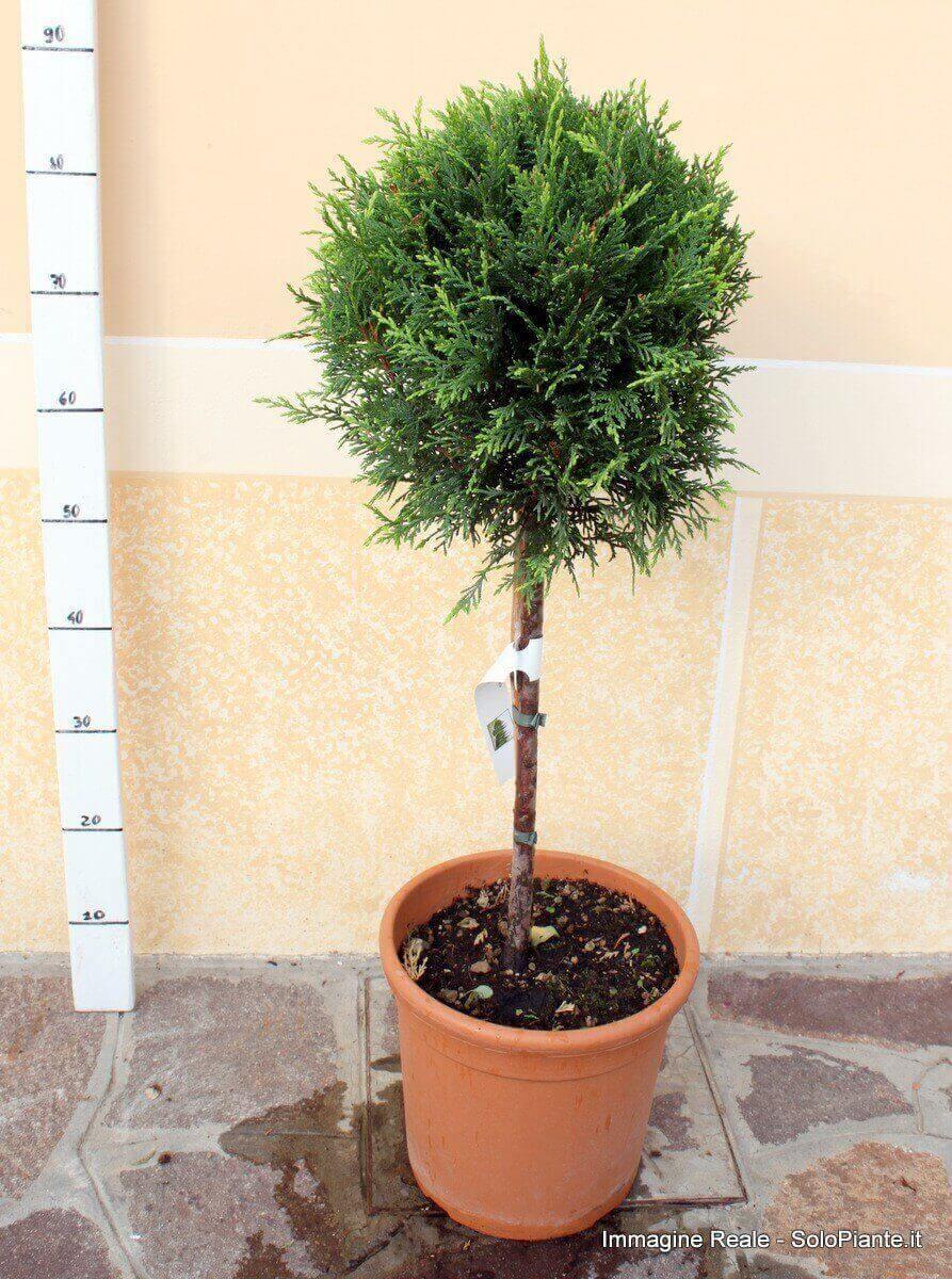 Alberello di cipresso leylandii vendita piante for Cipresso nano