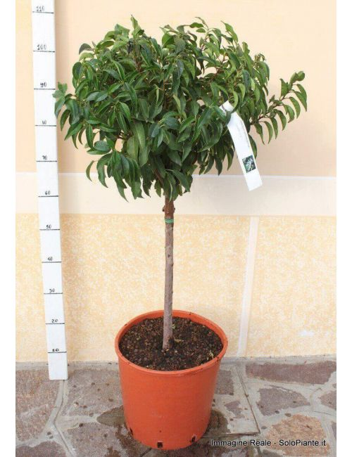 Alberello di Lauro del Portogallo (Prunus Lusitanica)