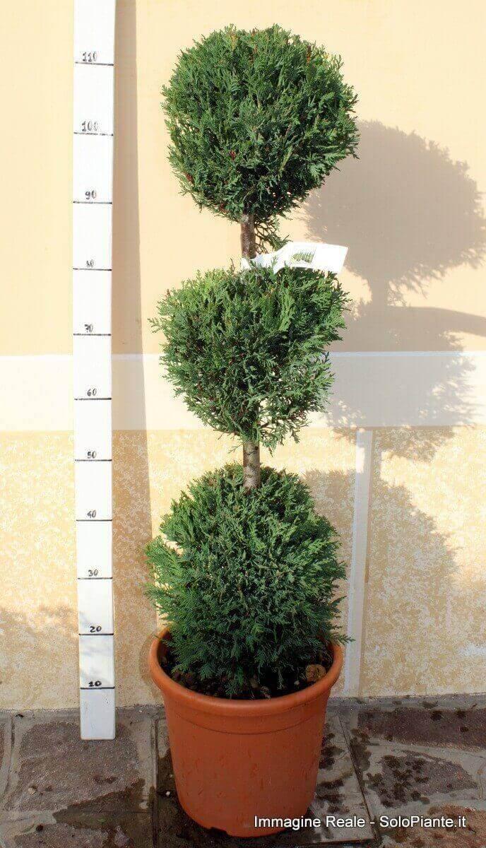 Arte topiaria 3 sfere vendita piante online for Cipresso nano