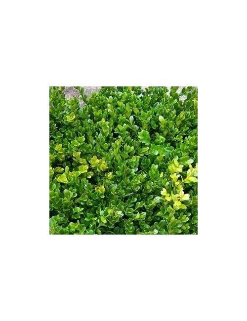 Bosso a cono (Buxus Microphylla Faulkner)