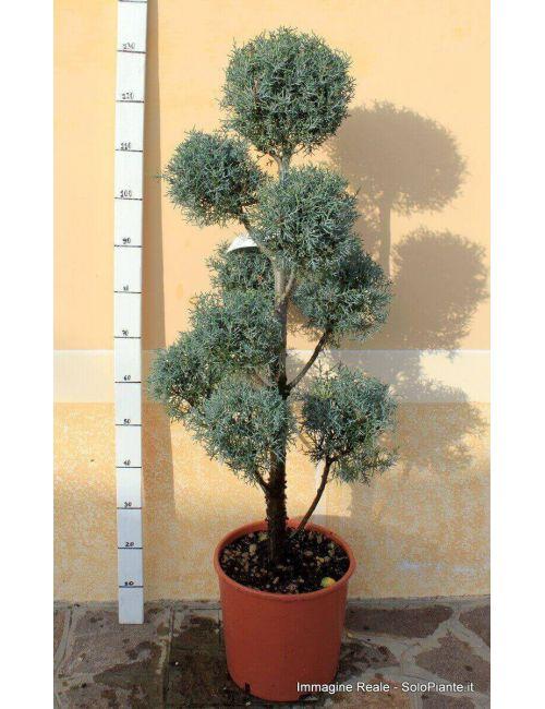 """Arte Topiaria """"Pom poms"""" - Cipresso Azzurro (Cupressus Arizonica Fastigiata)"""