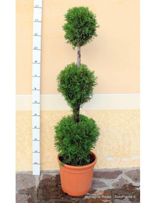 "Arte Topiaria ""3 Sfere"" - Thuja Occidentalis ""Smaragd"""
