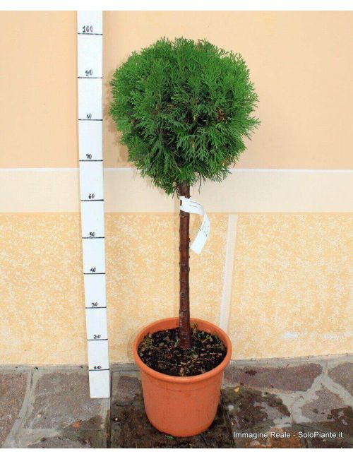 "Alberello di  Thuja Occidentalis ""Smaragd"""