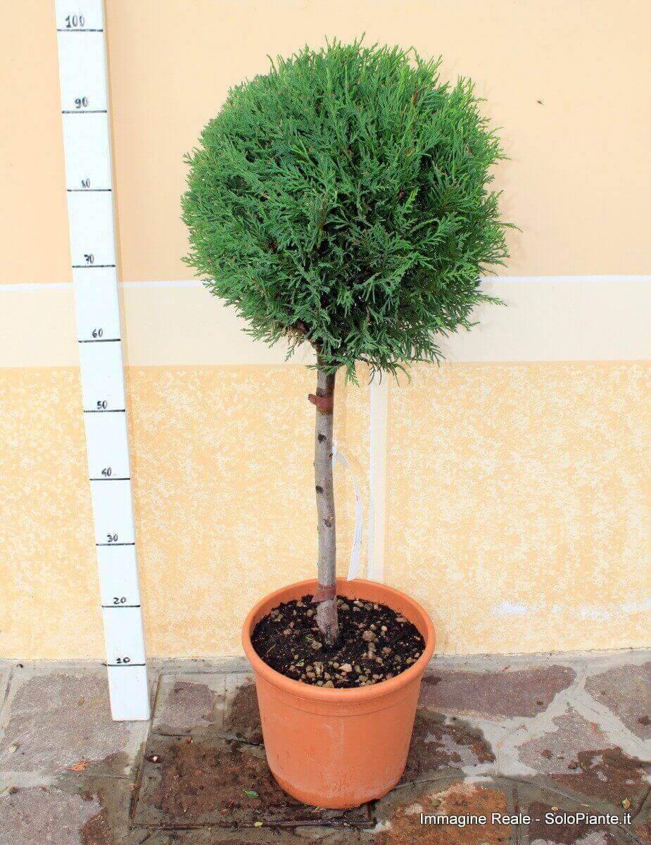 Alberello di cipresso leylandii cupressocyparis leylandii for Cipresso nano
