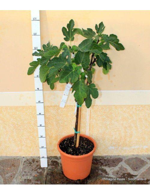 Alberello di Fico (Ficus Carica)