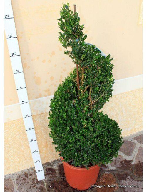 """Arte Topiaria """"Spirale"""" di Bosso (Buxus Microphylla Faulkner)"""