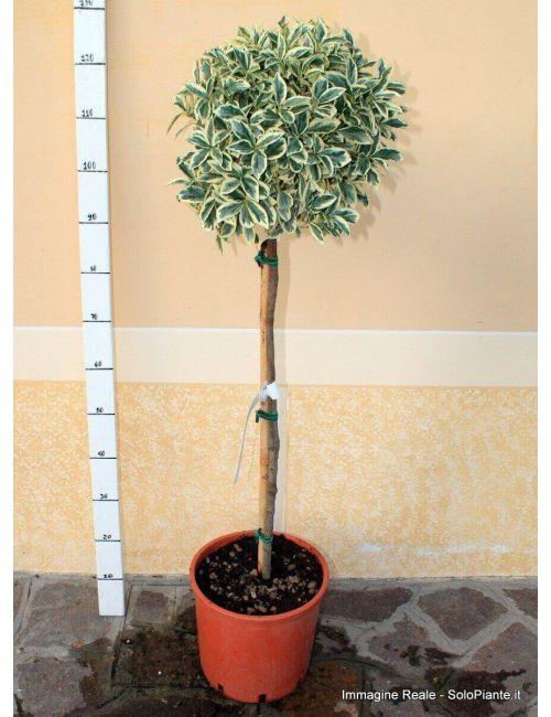 Alberello di Evomino variegato (Euonymus jap. Bravo)