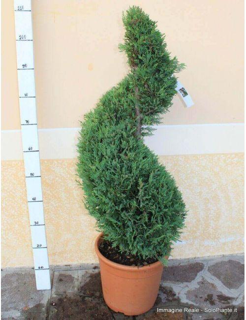 """Arte Topiaria """"Spirale"""" - Cipresso Leylandii """"giallo dorato"""" (Castlewellangold)"""