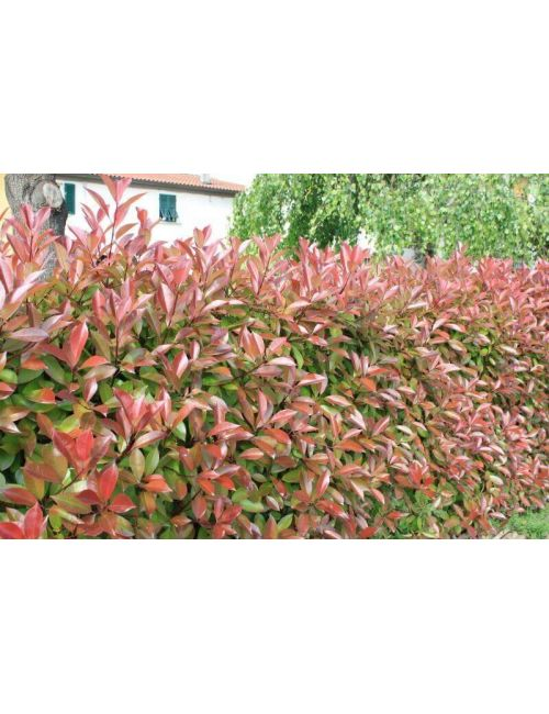 10 x Photinia Red Robin (pack)