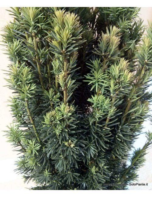 Tasso Baccata Fastigiata (Taxus Baccata Fastigiata)