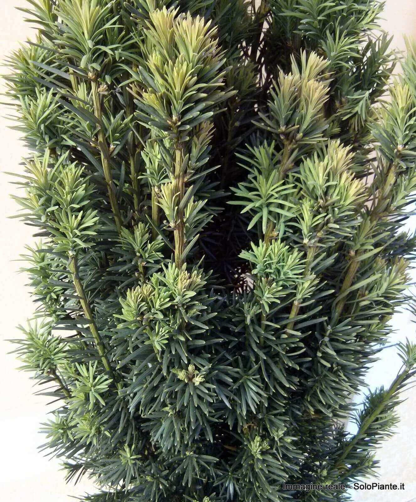 Tasso baccata fastigiata vendita piante on line for Piante da frutto vendita on line