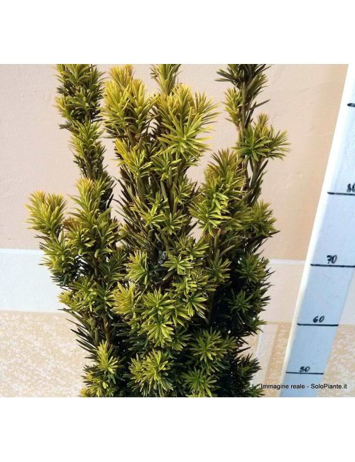 Tasso Baccata Fastigiata Aurea (Taxus Baccata Fastigiata Aurea)