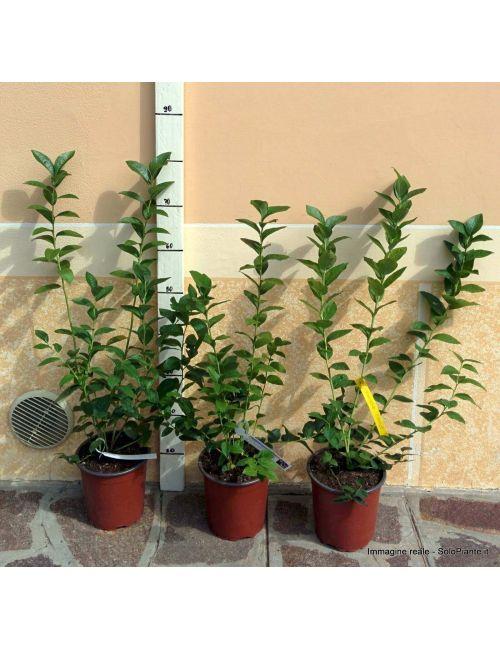 Mirtillo Gigante (Vaccinium Corymbosum Spartan)