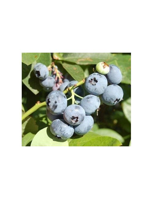 Mirtillo Gigante Blue ray (Vaccinium Corym. Blue ray)